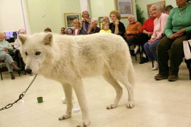 Atka, an Arctic grey wolf, from the Wolf Conservation Center in South Salem, N.Y., made a visit to the Greenwich Senior Center Wednesday morning.  March 23, 2011 Photo: David Ames, David Ames/For Greenwich Time / Greenwich Time Freelance