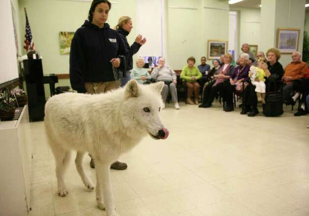 Rebecca Bose, left, of the Wolf Conservation Center holds onto Atka, an Arctic grey wolf, as wolf educator Maggie Howell answers questions during a visit to the Greenwich Senior Center Wednesday morning. Photo: David Ames, David Ames/For Greenwich Time / Greenwich Time Freelance