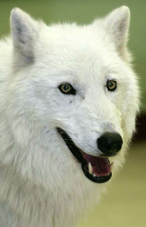 Oct. 26: The Wolf Conservation Center in South Salem, N.Y., is hosting its Halloween Howl meet and greet with three ambassador wolves from its organization at 5 p.m. Halloween treats will be served. Costumes are encouraged and pre-registration is required. Admission: $16 for adults, $13 for children under 12. Photo: David Ames, David Ames/For Greenwich Time / Greenwich Time Freelance