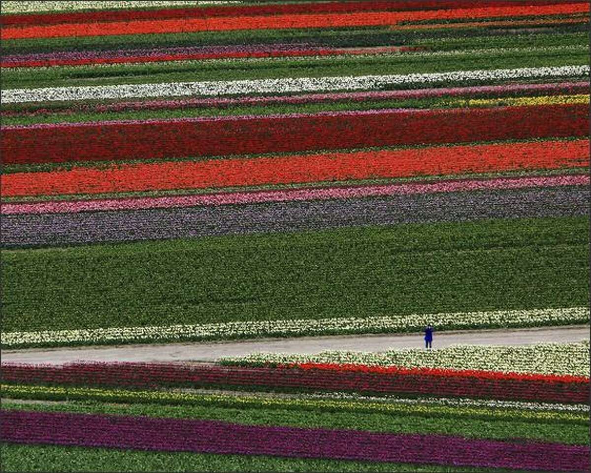 In an aerial view, a person pauses to take a photo among the fields of color at the Skagit Valley Bulb Farm's Tulip Town near Mount Vernon on April 13, 2007. - 800 x 600 - 1024 x 768 - 1280 x 1024