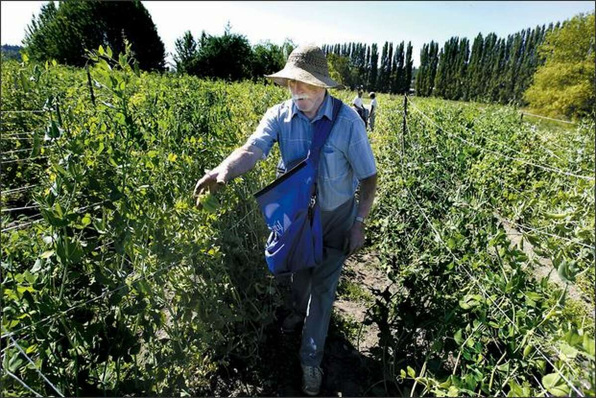 Paul Reimann, a volunteer harvester, helps pick beans at the 21 Acres farm. A small well currently supplies water for the farm's agricultural fields, while smaller garden plots currently use Woodinville water.