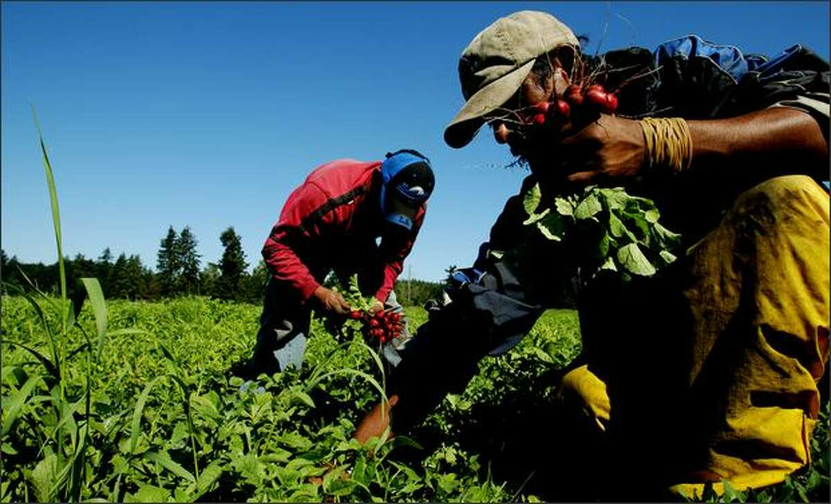 Farm workers, including Francisco Martinez, right, pick radishes at Stoney Plains Organic Farm in Tenino. The farm sells its produce at Pike Place Market.Brown: I love photographing life on farms. Farm workers are so busy that they ignore you, which makes them great subjects for a photojournalist. It also helps that they usually start work at dawn when the light is gorgeous. I always come away with a box of vegetables.