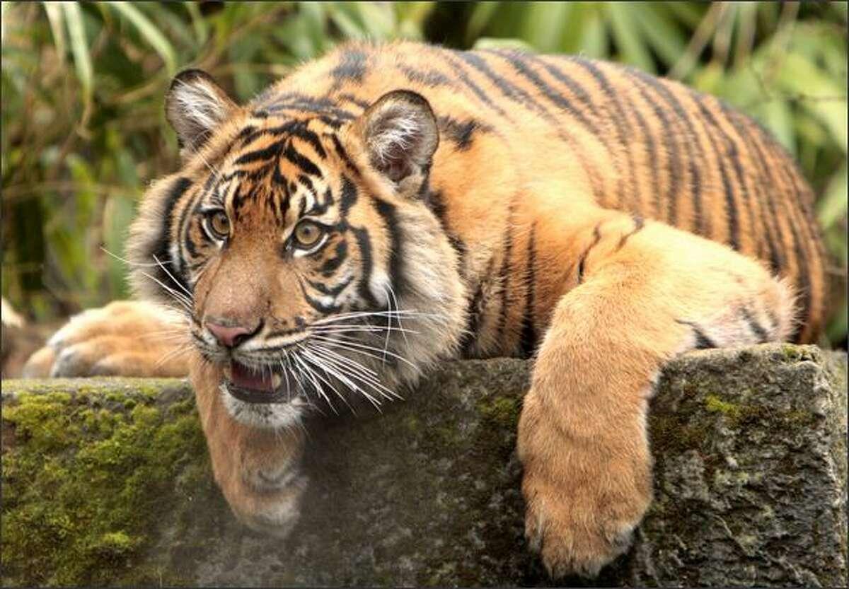 Hadiah, a 166-pound Sumatran tiger, celebrates her first birthday Wednesday at the Woodland Park Zoo.