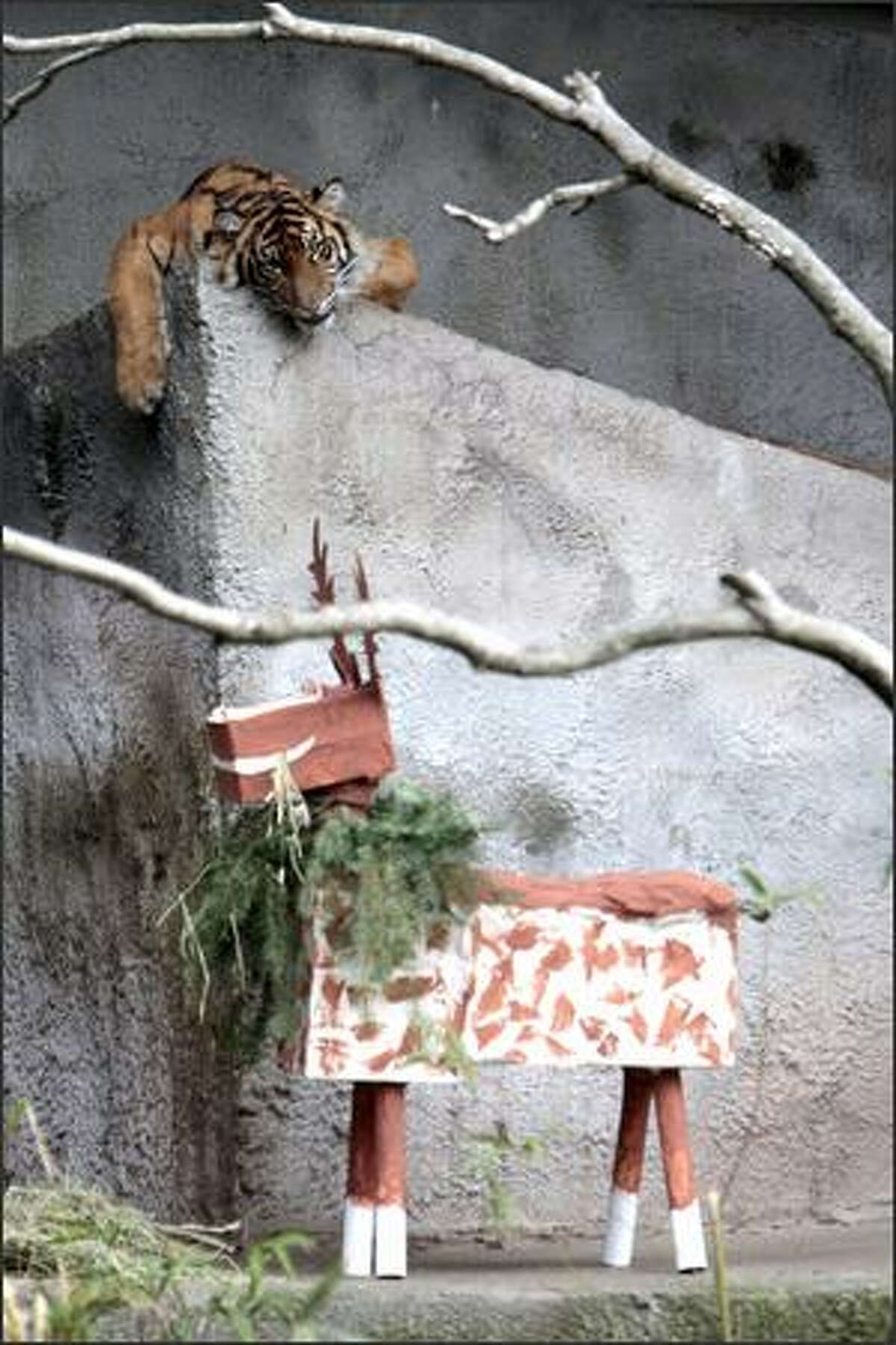 Hadiah, a Sumatran tiger, attacks a papier mache reindeer given for her first birthday at the Woodland Park Zoo.
