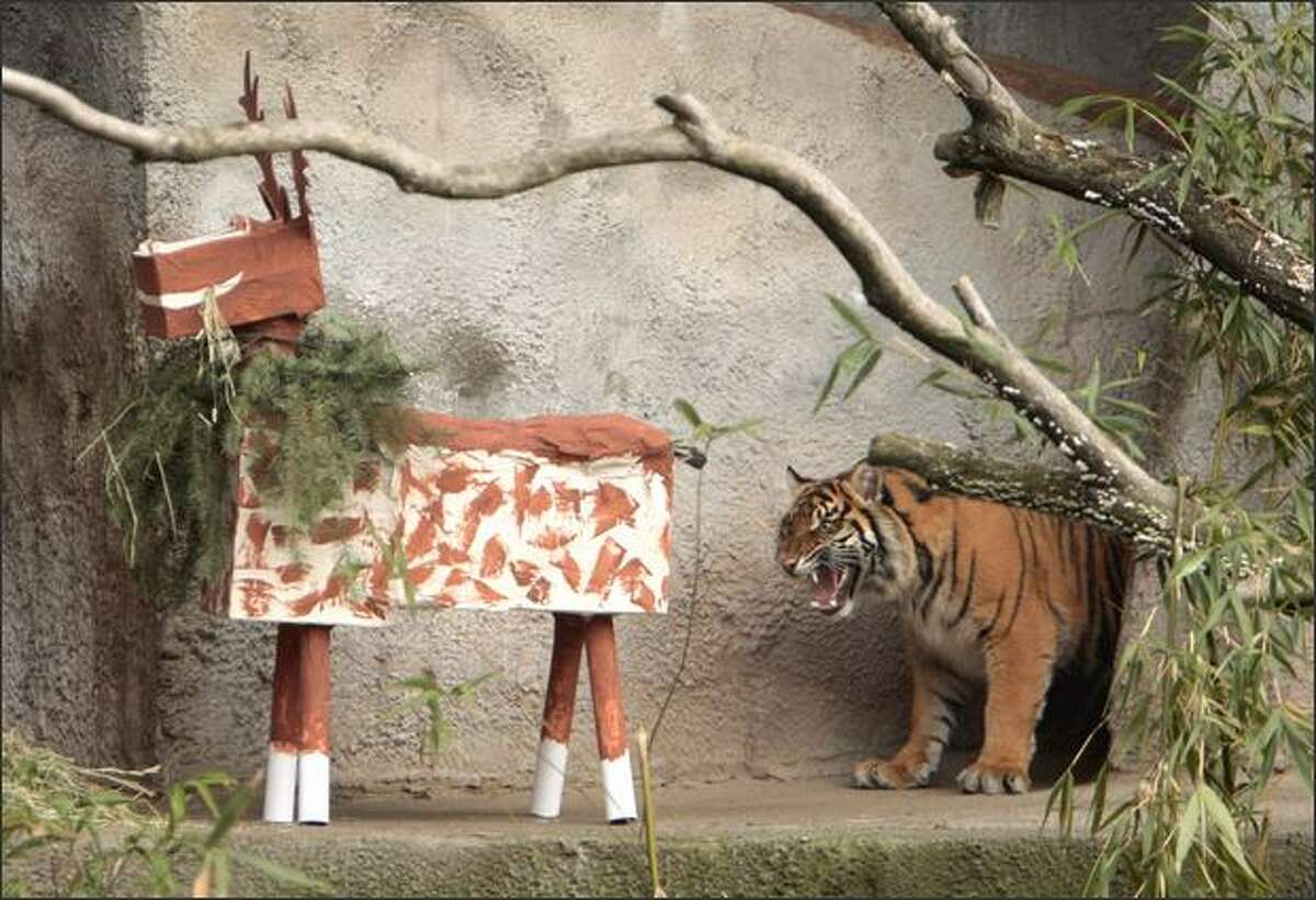 She growled at it. Hadiah, a Sumatran tiger, took longer than a half-hour to attack a papier-mache reindeer given to her Wednesday for her first birthday at the Woodland Park Zoo.