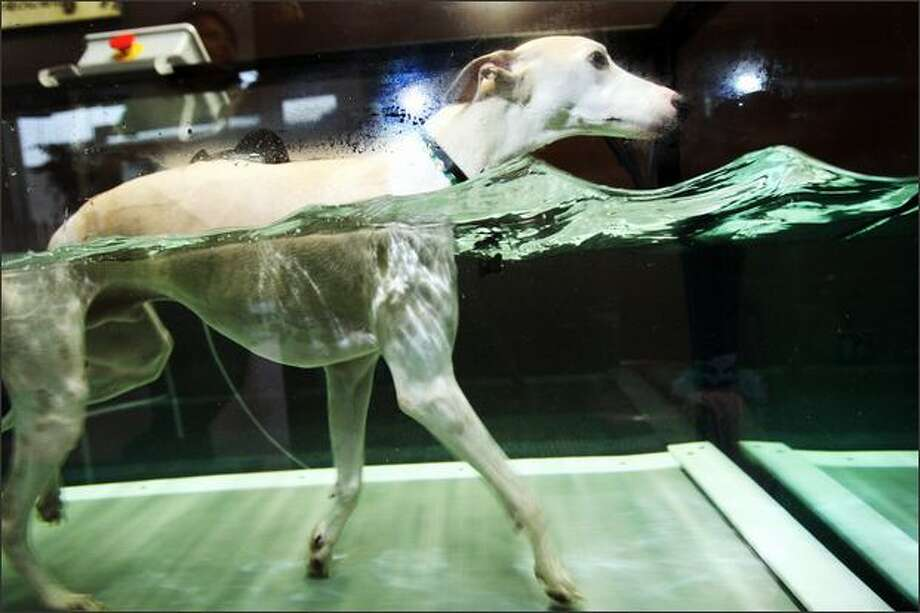Flash, a whippet, demonstrates how the underwater treadmill works at SpawZ Doggie Daycare and Fitness Center. Photo: Karen Ducey, Seattle Post-Intelligencer
