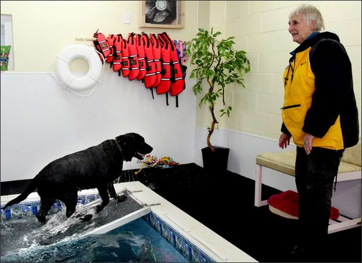 A doggy life jacket is nearby just in case any of the dogs need a little extra help, unlike Indy, an English lab, who heads back to his owner, Ann Studebaker, at SpawZ Doggie Daycare and Fitness Cneter.