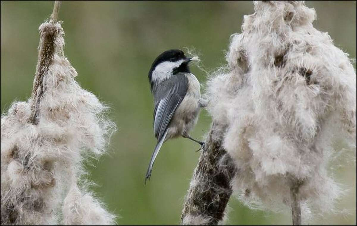 A black-capped chickadee dismantles a cattail in a marshy area of the Nisqually National Wildlife Refuge.