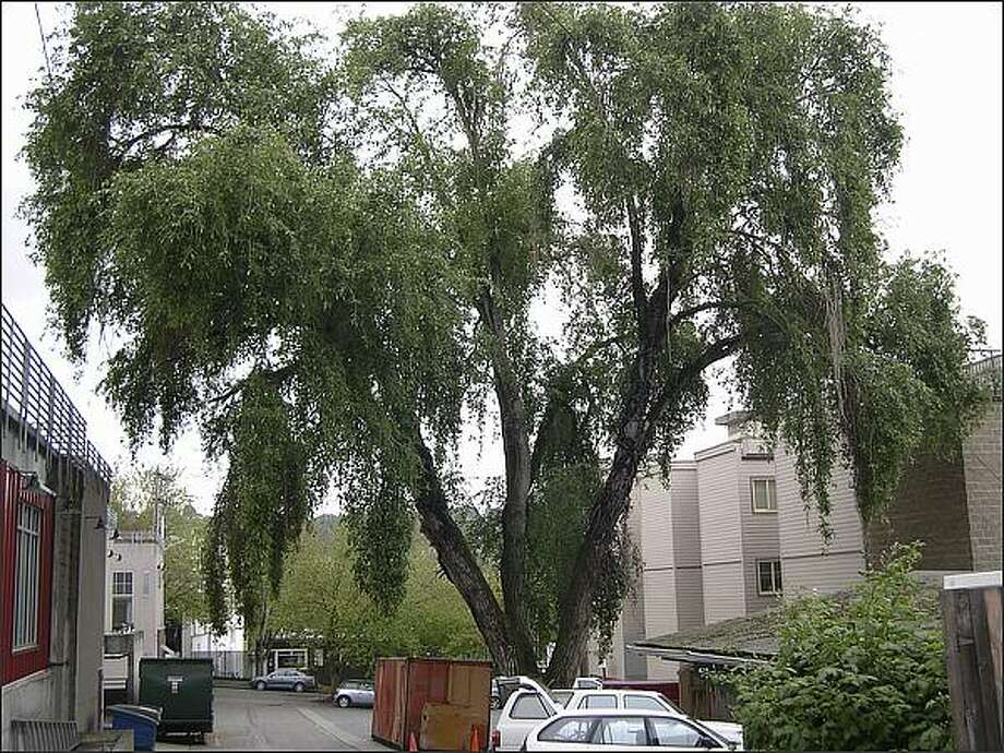 The uncut weeping poplar tree as it looked in May 2007, before it was severely trimmed back by Dan Cawdrey. Photo: /