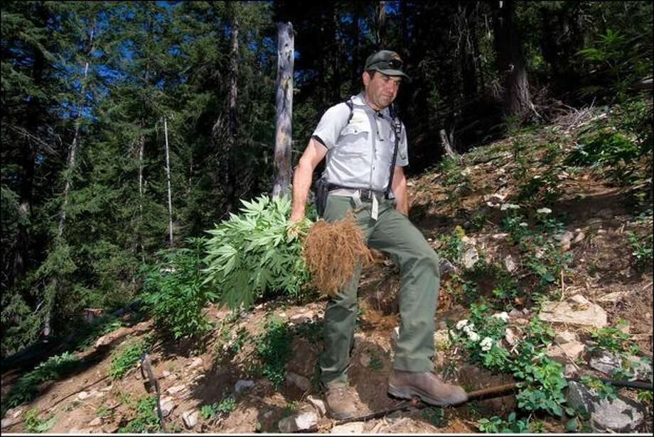 A raid this week on a marijuana farm discovered in the Ross Lake National Recreation area found more than 16,700 plants worth nearly $48 million. Photo: David Snyder/United States Park Service