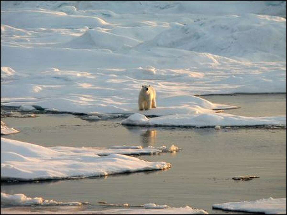 A polar bear stands on the edge of a block of sea ice, which is critical to its hunting style. The bears now are federally protected, in large part because ice is vanishing.