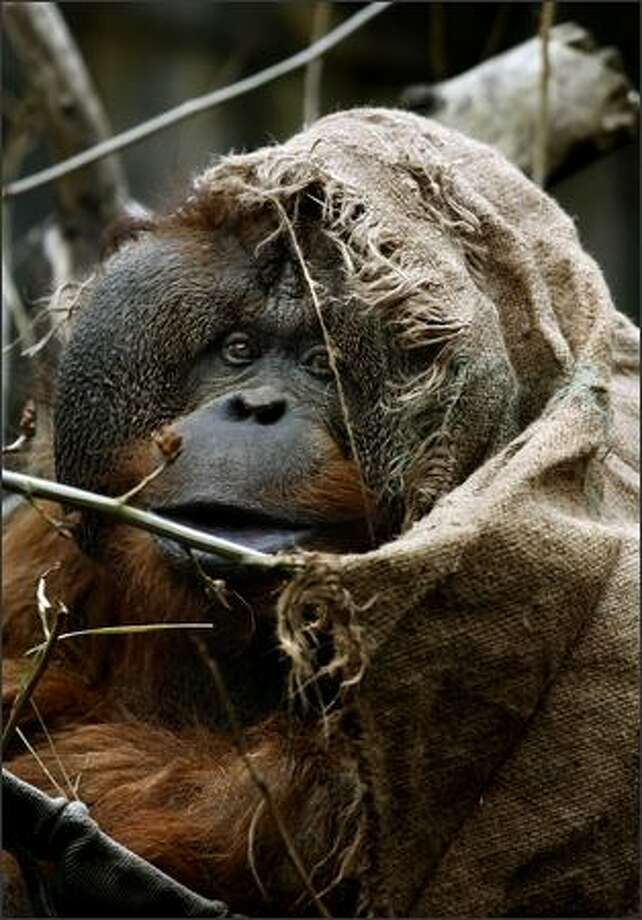 Towan, an orangutan, uses a burlap sack for privacy and warmth while hanging out in a tree at the Woodland Park Zoo in Seattle. He, along with his twin sister Chinta, will celebrate their 40th birthday Saturday. Photo: Andy Rogers, Seattle Post-Intelligencer