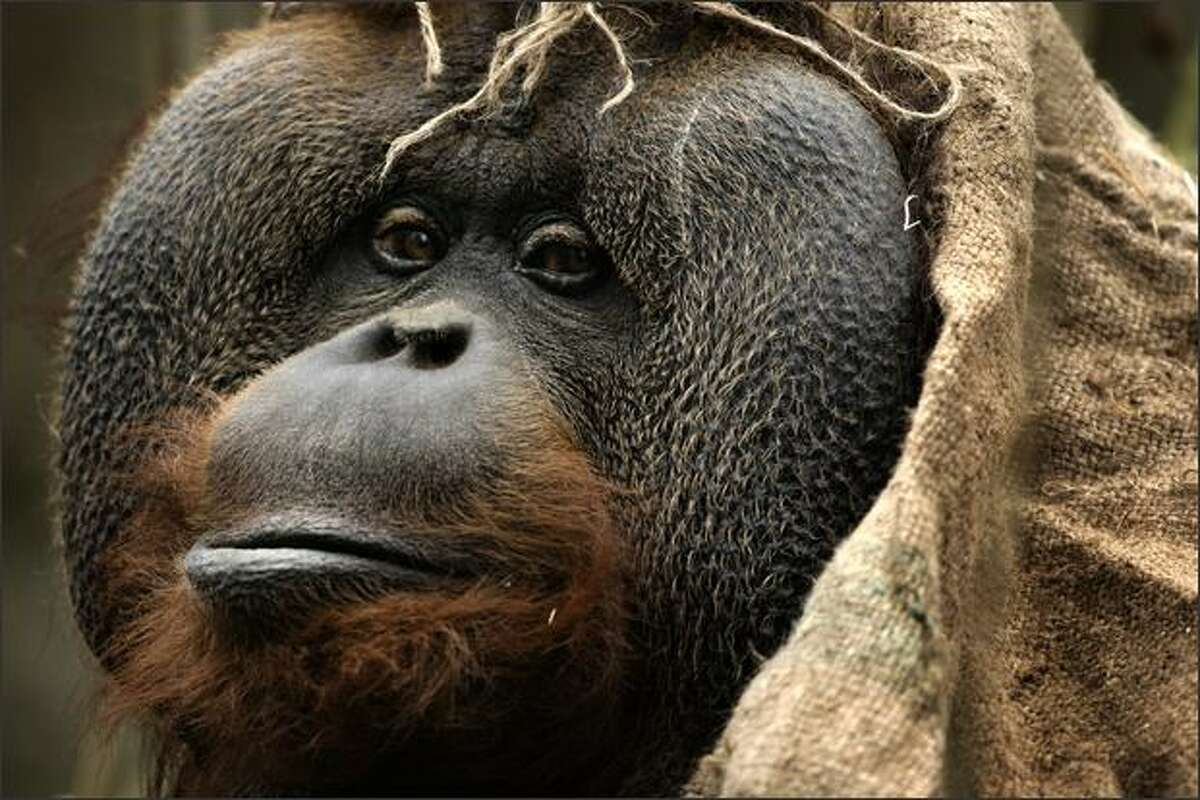 Towan, an orangutan, uses a burlap sack for privacy and warmth while hanging out in a tree at the Woodland Park Zoo in Seattle.