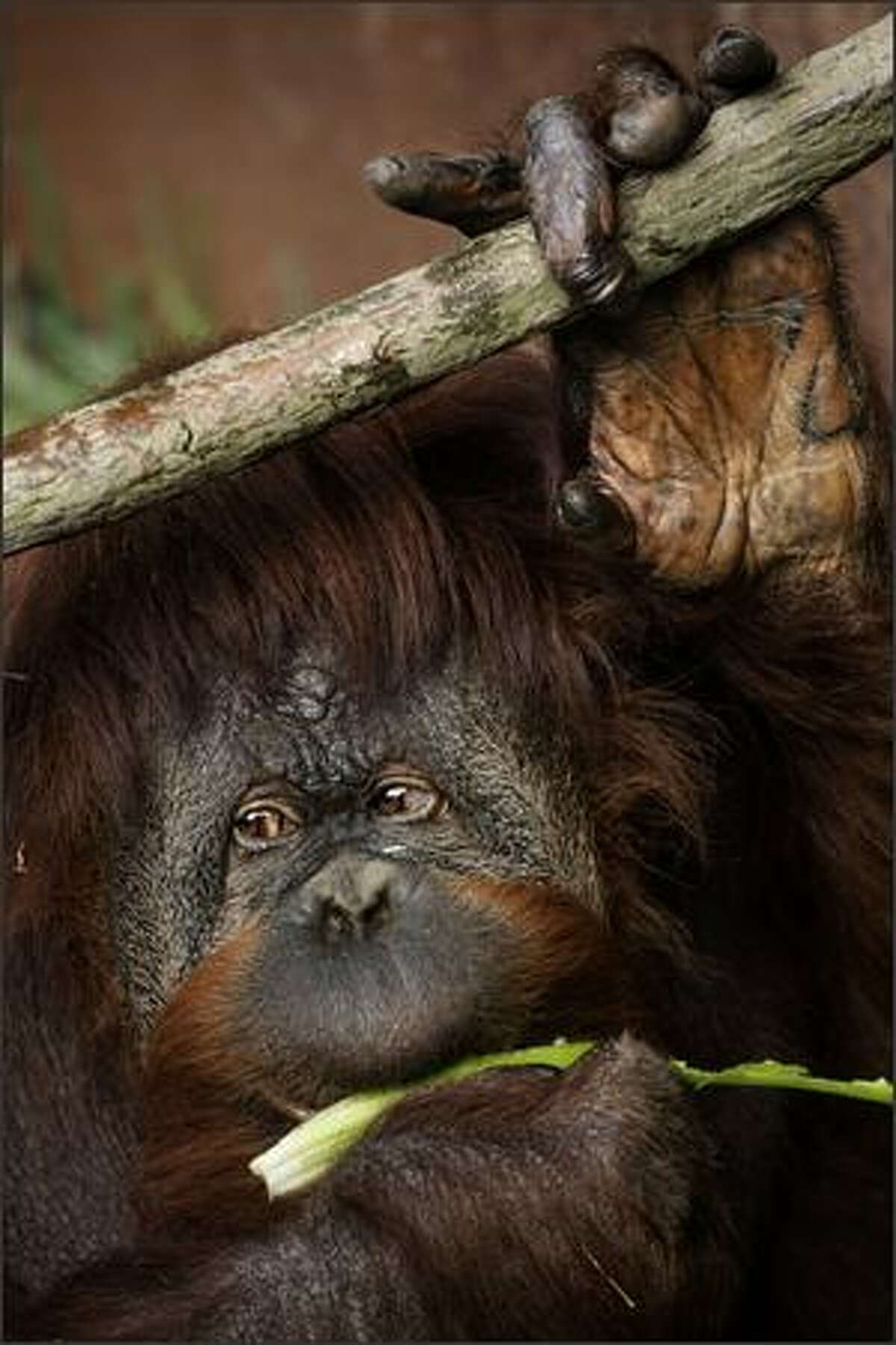 Chinta, an orangutan, chomps a celery treat at the Woodland Park Zoo in Seattle. She, along with her twin brother, Towan, will celebrate their 40th birthday Saturday.