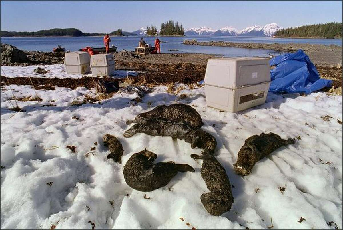 One baby and five adult oil-soaked sea otters lie dead on Green Island April 3, 1989 in Prince William Sound near Valdez, Alaska. The tanker Exxon Valdez ran aground on March 24, 1989 and spilled 11 million gallons of crude oil.