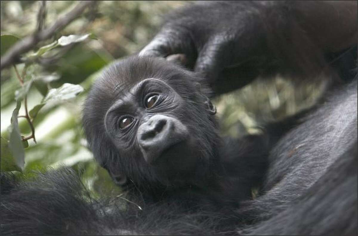 Uzumma, a 5-month-old female western lowland gorilla, relaxes on her mother's chest after the announcement of her new name at the Woodland Park Zoo Friday, April 4, 2008. Uzumma, which means
