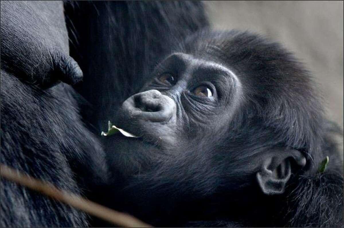 Uzumma looks up at Amanda as she chews a leaf.