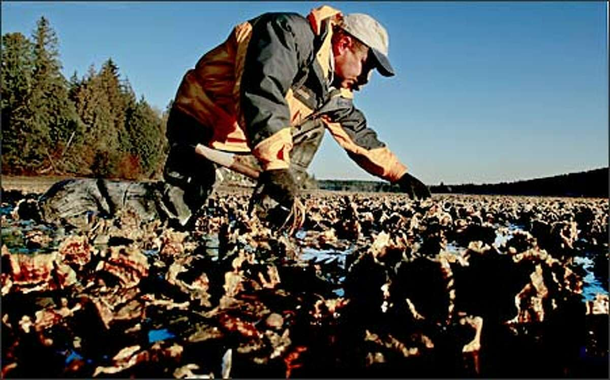 """Shellfish production is a major marine industry on Washington's coast. A new scientific report warms of ocean acidification, saying decision-makers """"must act decisively and in concert now."""" Here, Eric Hall of Taylor Shellfish's North Bay operation in Mason County inspects recently restored oyster beds. Puget Sound has 140,000 acres of commercial shellfish beds."""