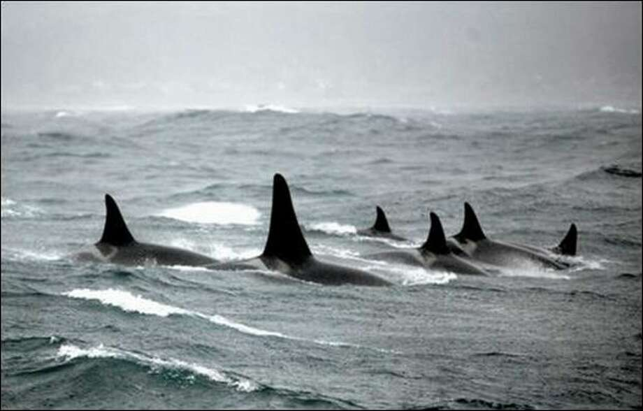 Orcas from L pod, usually seen in state waters, surface near Cypress Point, Calif. Scientists suggest the pod may be driven to swim hundreds of miles just to meet minimum nutritional requirements. Photo: Nancy Black/Monterey Bay Whale Watch