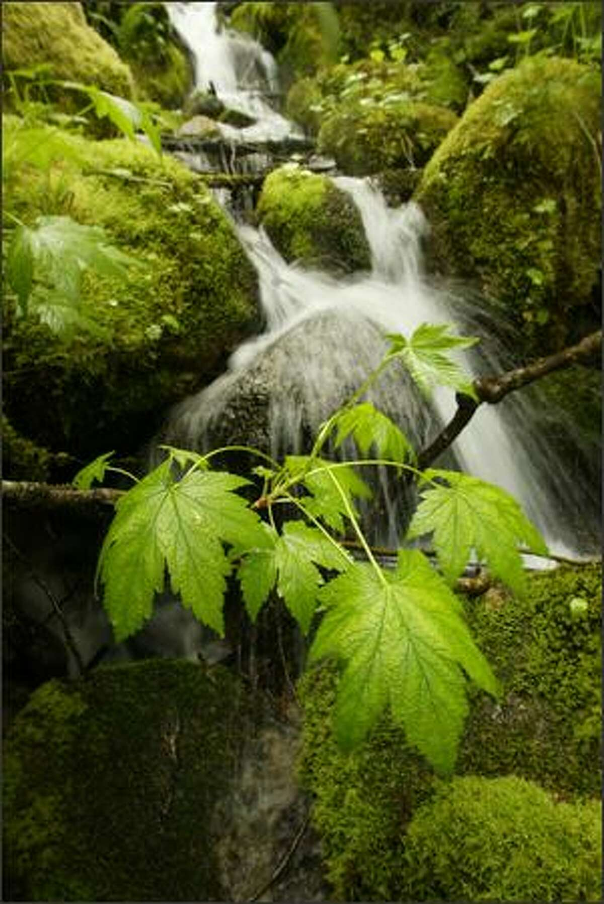 A snow melt creek flows into the Skagit River, over moss covered rocks and under wet leaves, in Washington state's North Cascades. May 18, 2008.