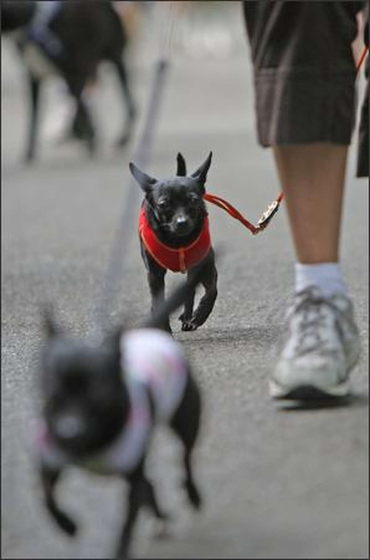 Dogs big and small participate in the Seattle Animal Shelter's 9th annual Furry 5k Fun Run and Walk at Seward Park.