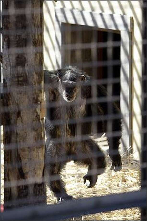 Burrito, the youngest of the Cle Elum Seven and the only male, runs to the new outdoor enclosure;the door behind him connects the indoor area to the outdoor area. Photo: Meryl Schenker, Seattle Post-Intelligencer