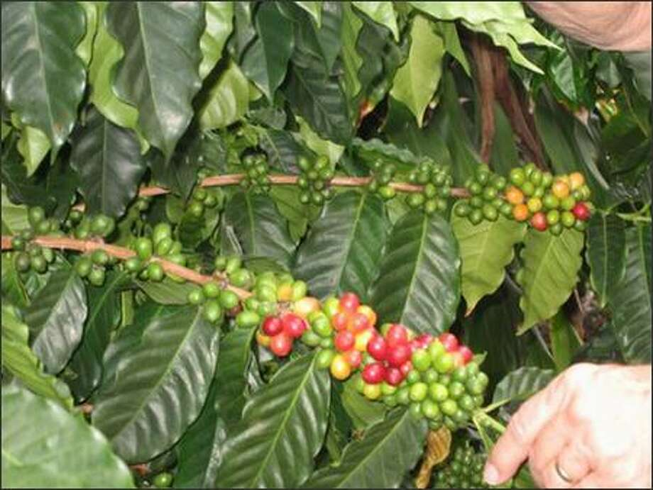 A coffee tree branch bears fruits in various stages of ripeness. A branch is good for about four years of production. Photo: Ann Smith