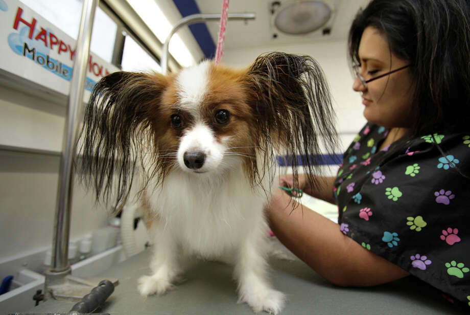 Jennifer Garcia of Happy Hound Mobile Grooming washes and grooms Ricky, a papillon, inside a specialty outfitted van. BOB OWEN / EXPRESS-NEWS / SAN ANTONIO EXPRESS-NEWS