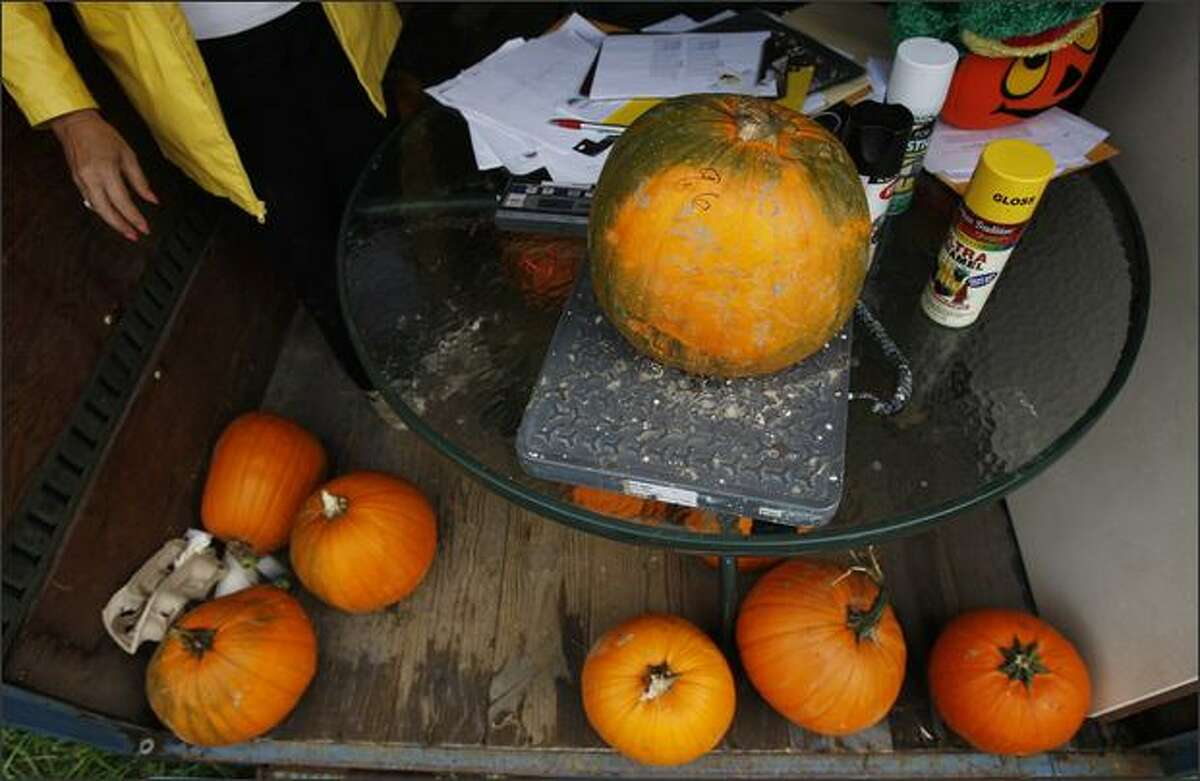 A pumpkin is weighed before being hurled at the Snohomish Festival of Pumpkins Pumpkin Hurl at Bartelheimer Farms in Snohomish on Saturday. All pumpkins had to weigh less than 10 pounds to be entered in the hurling contest.