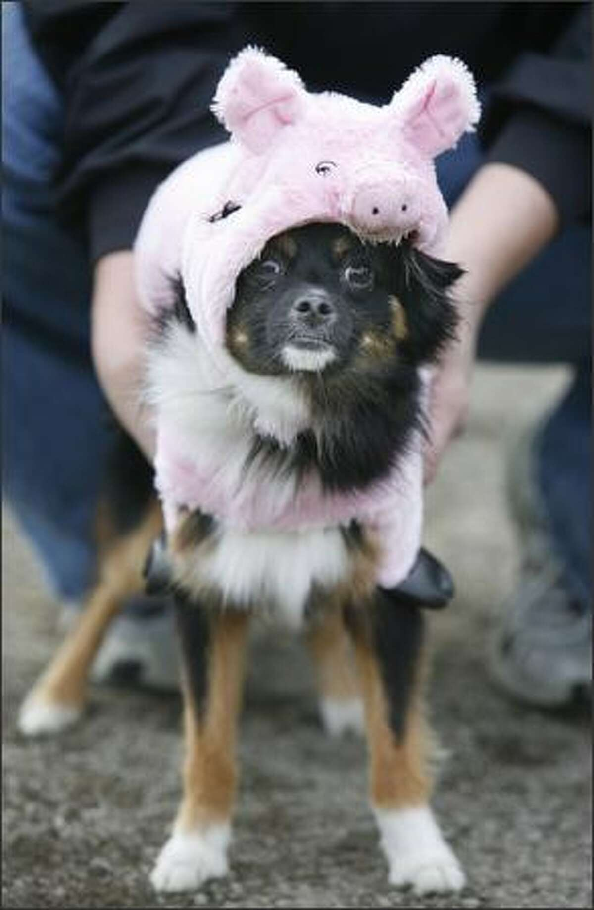 Pepper came to Dog-O-Ween dressed as a pig ... ith no lipstick.