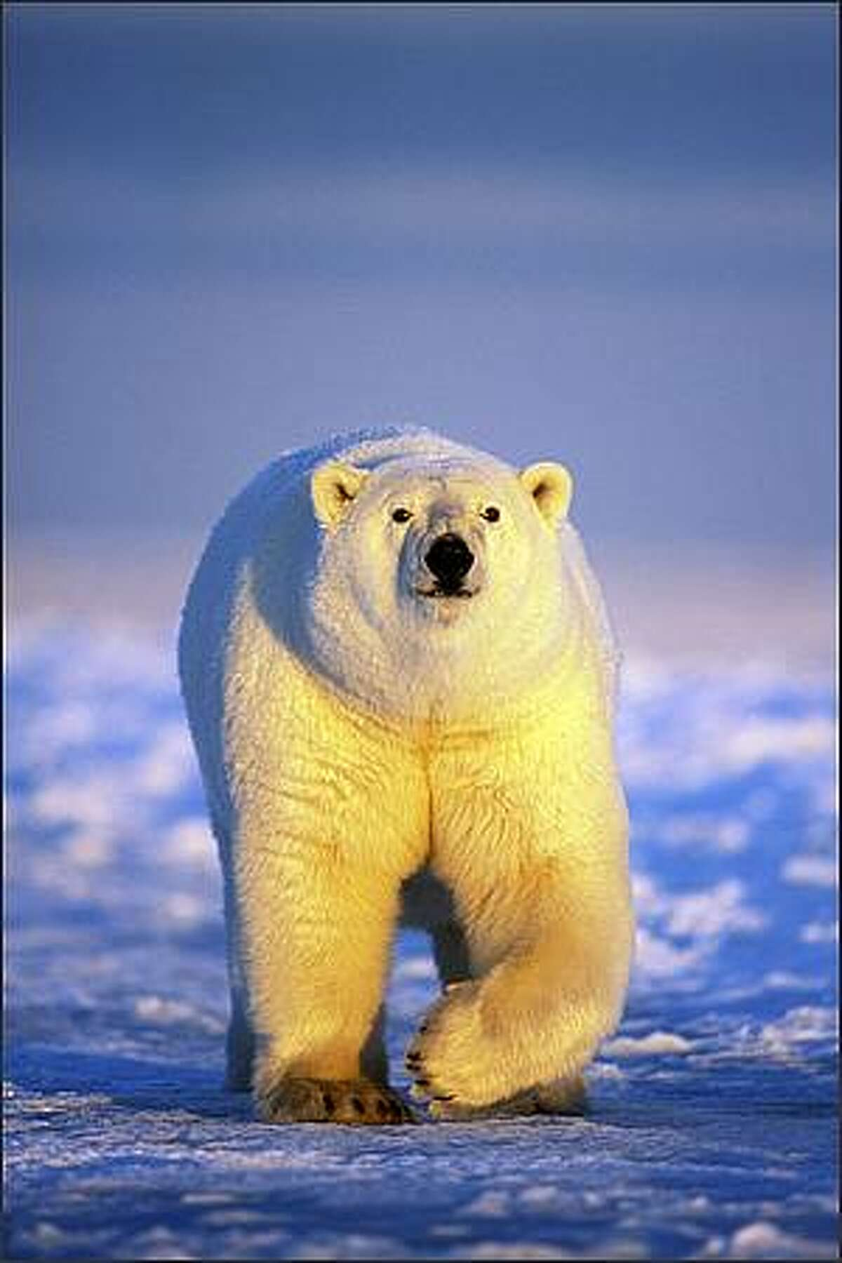 Polar bear on the pack ice of the frozen coastal plain (Arctic National Wildlife Refuge), photograph by Steven Kazlowski.