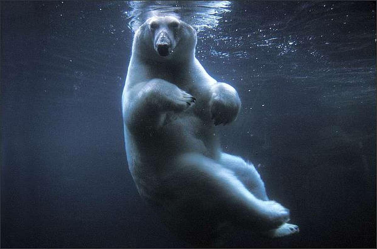 Polar bear swimming in Anchorage zoo (Anchorage, Alaska), photograph by Steven Kazlowski.