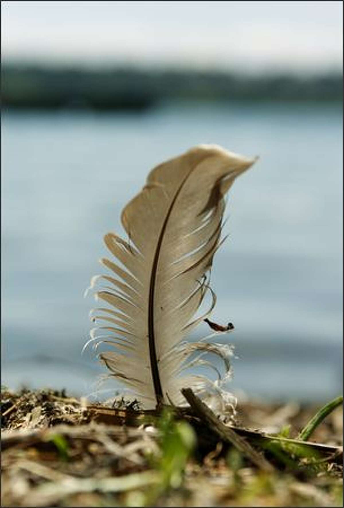 A feather, found stuck in the bank bordering Green Lake.