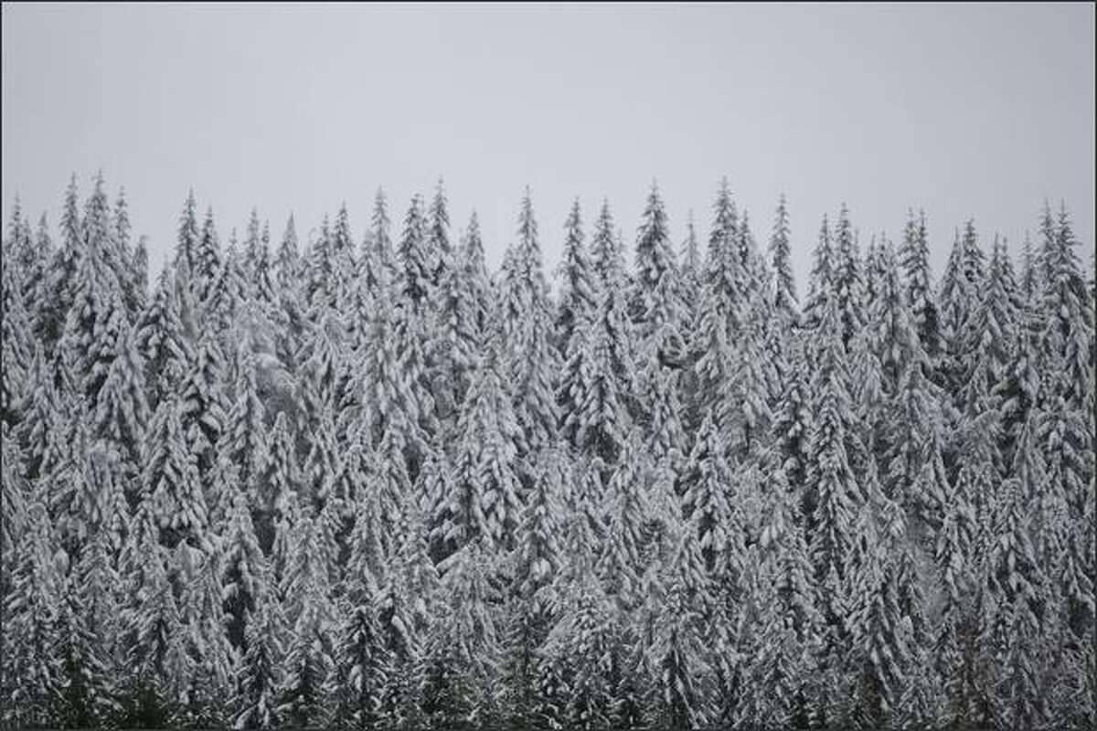 A stand of evergreens wear the white of a recent snowfall near Rattlesnake Lake.