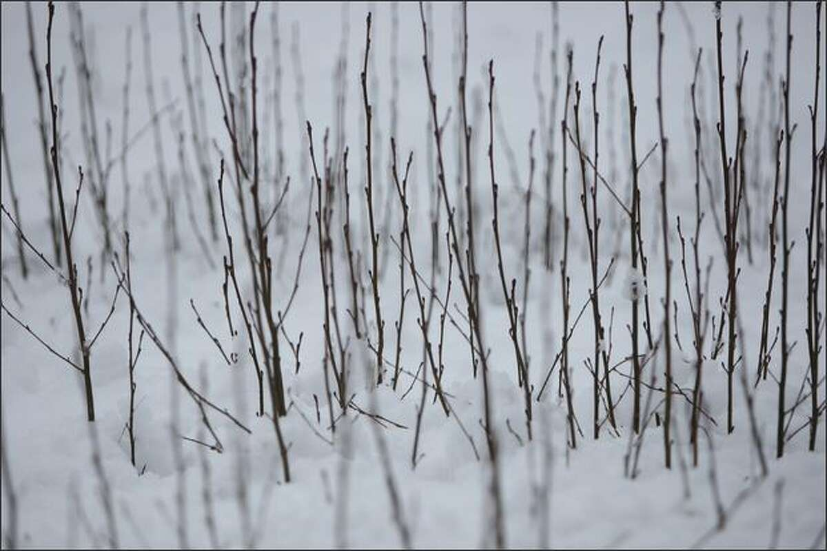 Leaf-less saplings poke through fresh snow along an entrance ramp on Interstate 90 east of North Bend.
