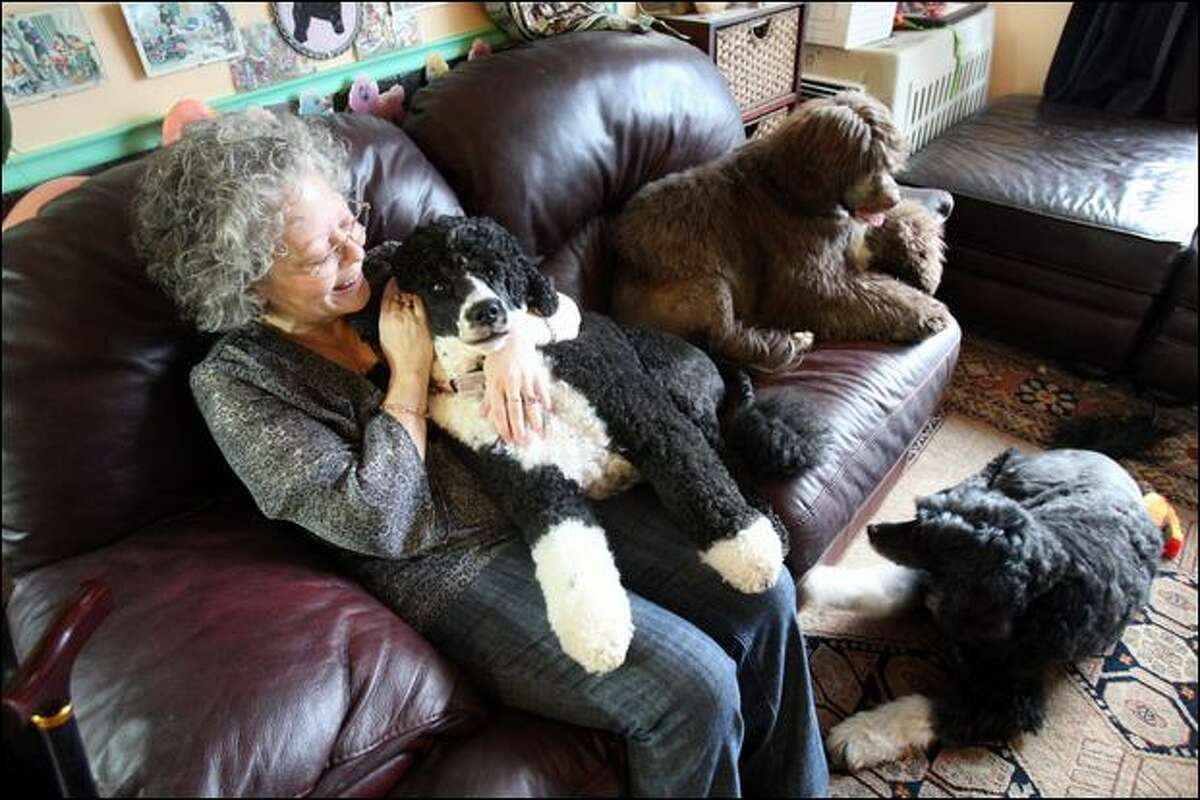 Seattle breeder Laurie Hardman cuddles Thursday with her Portuguese water dogs Kitty, on her lap; Billie, curled up on the couch; and Pickles, relaxing on the rug.