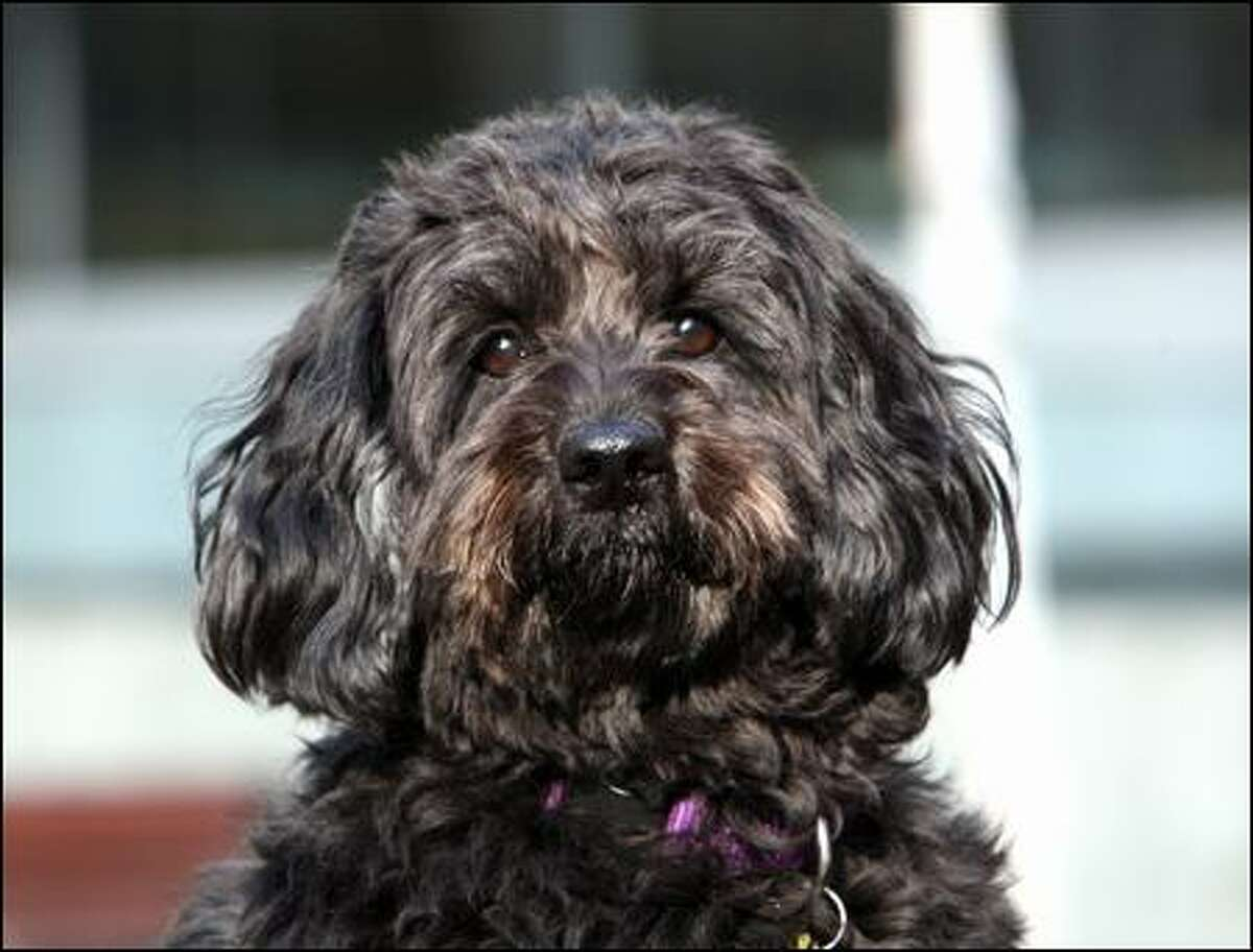 Ella, a 3-year-old Labradoodle, belongs to Seattle residents Rick Sullens and Cindi Buxton.
