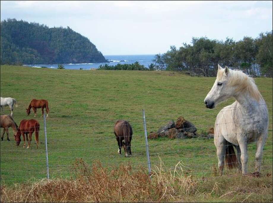 Horses graze on the bucolic ranch land around Hana in east Maui. Photo: Janice Mucalov/Special To The Seattle Post-Intelligencer
