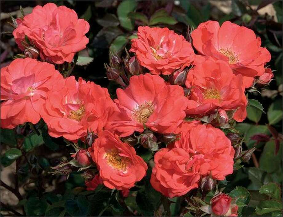 Coral Drift rose Photo: /