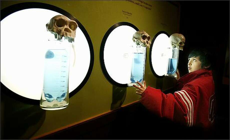 "Osvaldo Cortez, a sixth-grader at Chief Moses Middle School, is very intrigued by a display about the cranial capacity of, from left, a chimp skull, a Lucy-era skull and a human skull, at the ""Lucy's Legacy"" exhibit at the Pacific Science Center. Photo: Paul Joseph Brown/Seattle Post-Intelligencer"