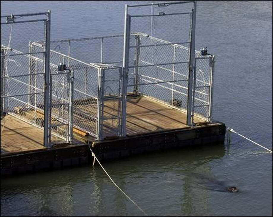 A California sea lion swims away from two traps on the Columbia River near Bonneville Dam on Friday. Oregon Fish and Wildlife officials will begin trapping sea lions Monday. Photo: Don Ryan/Associated Press