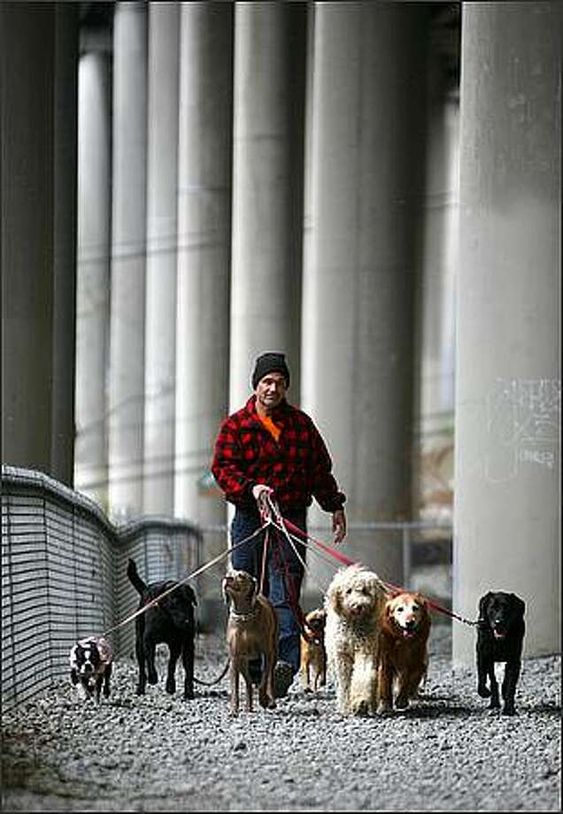 Gary Phillips of Gary's Dog Walking & Exercising takes eight of his charges for a walk under Interstate 5 in the I-5 Colonnade park on Monday. Photo: Joshua Trujillo/Seattle Post-Intelligencer