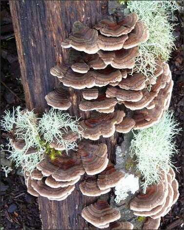 Turkey tail is found on dead hardwoods. Photo: Karen Sykes/Special To The Post-Intelligencer