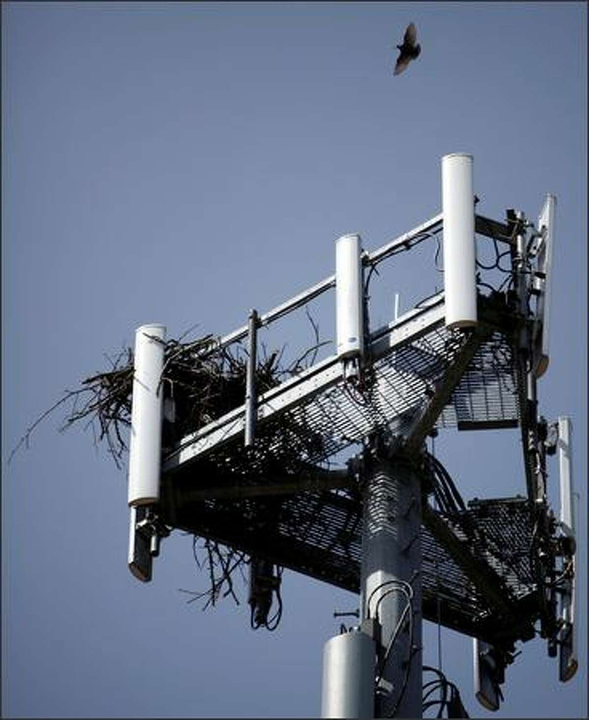 A bird flies back to its nest atop a cell-phone tower just south of Sea-Tac Airport. Resident birds are tagged so Steve Osmek and his team can see which nests were made by what birds.
