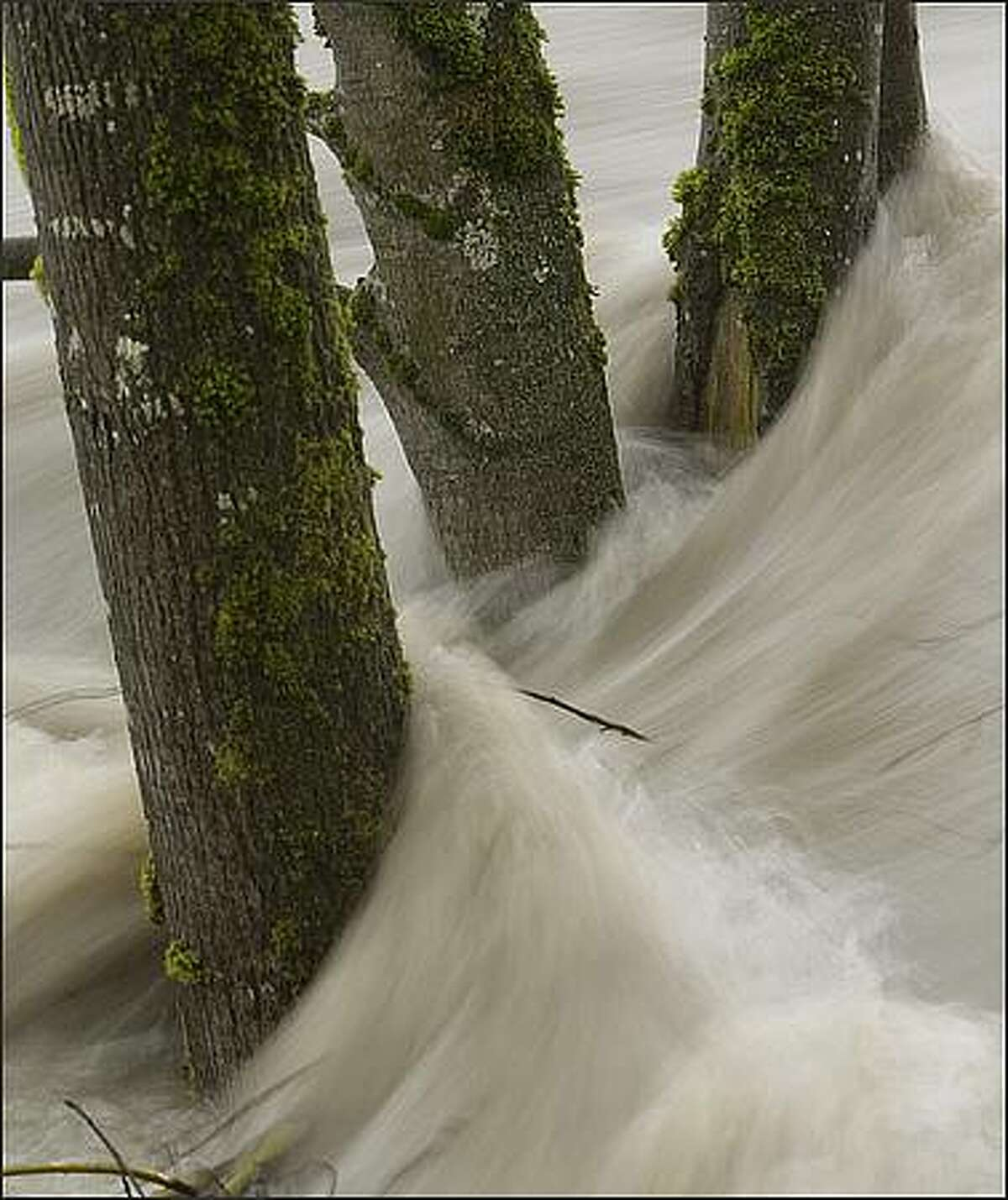 The Stillaguamish River, at the 18-foot mark, rushes past trees in Haller Park in Arlington, Wash. By the next morning, the trees were gone; the river reached the 24-foot mark. Jan. 7, 2009.