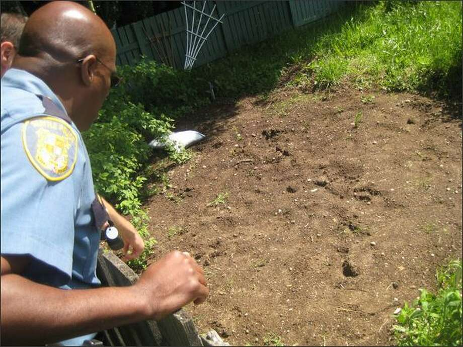 Seattle Police Capt. Les Liggins inspects suspected animal tracks, possibly made by a bear, next to the Ferdinand P-patch on Beacon Hill Photo: Casey McNerthney/seattlepi.com