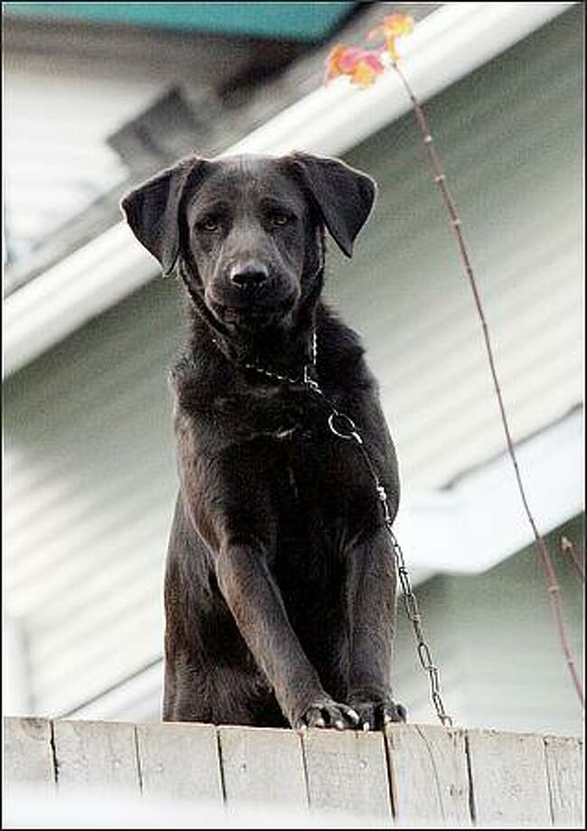 A chained dog barks at traffic from the backyard of this home in the Rainier Beach neighborhood of Seattle. Tethered dogs run the risk of hanging themselves if they leap out of their enclosure. Dec. 3, 2008 Photo: Karen Ducey, Seattle Post-Intelligencer