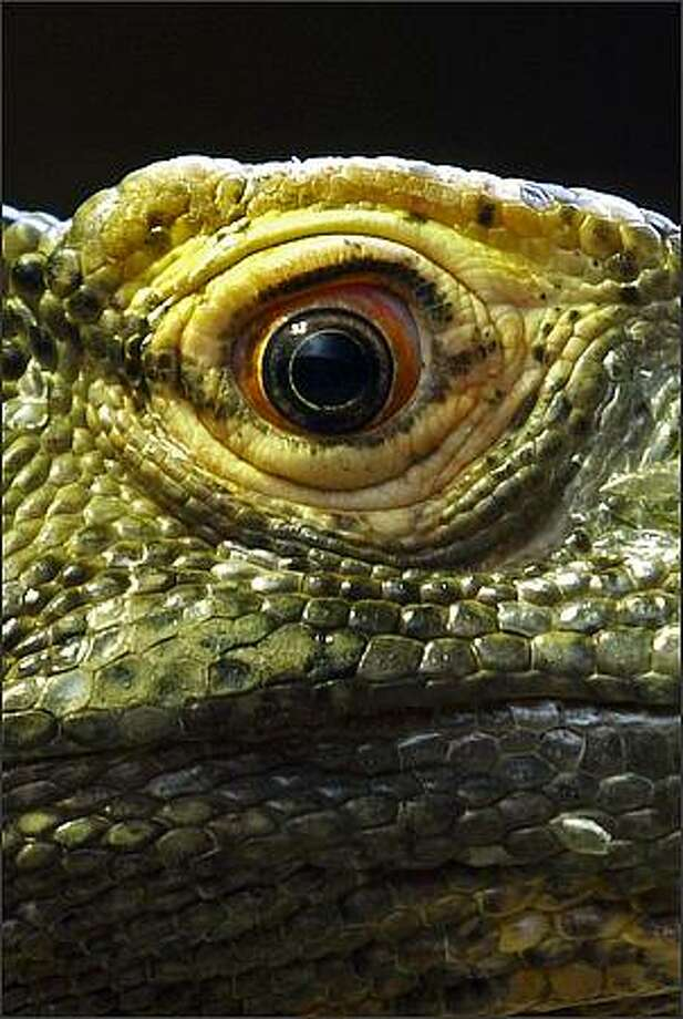 The scales on the face of a Komodo dragon at the Woodland Park Zoo. Photo: Andy Rogers, Seattle Post-Intelligencer