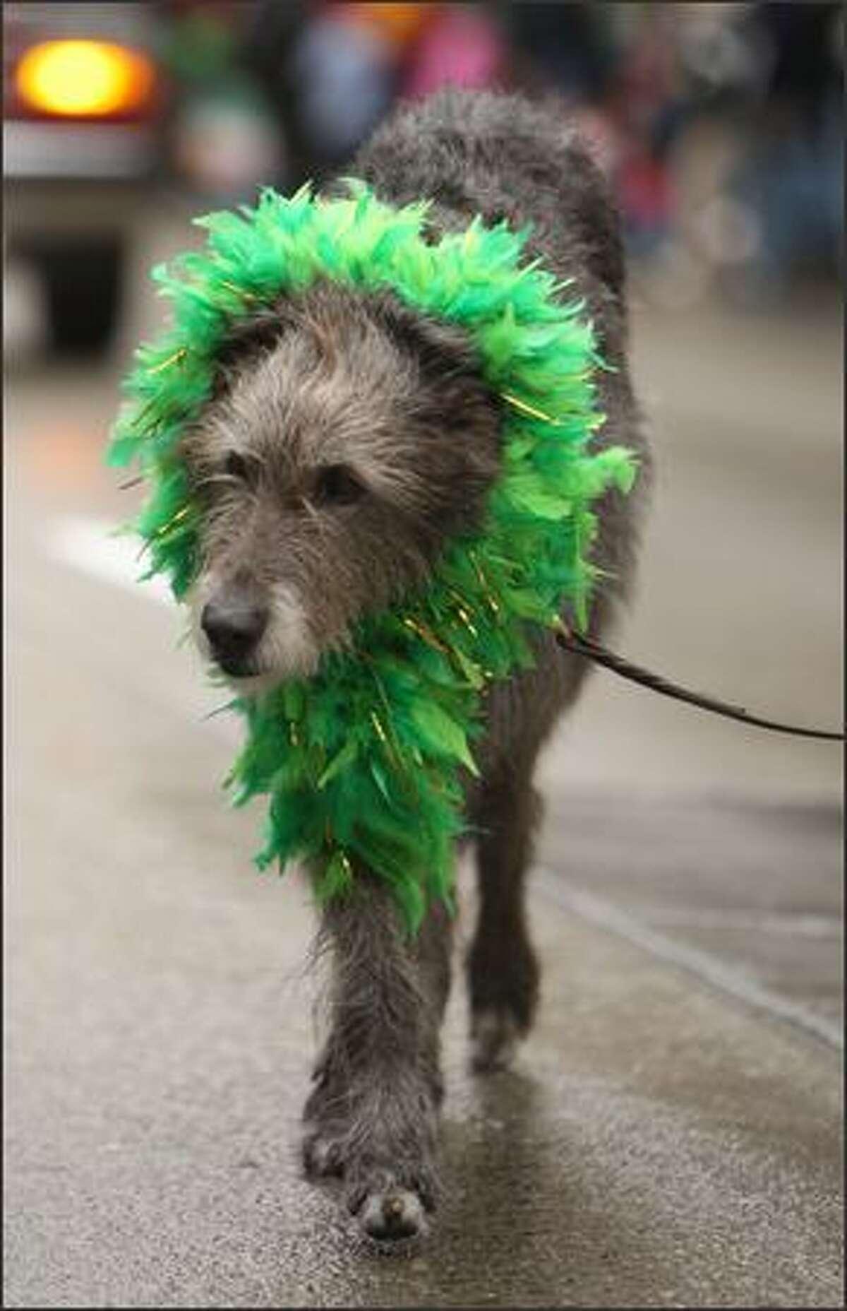 An Irish wolf hound walks in Seattle's St. Patrick's Day parade.