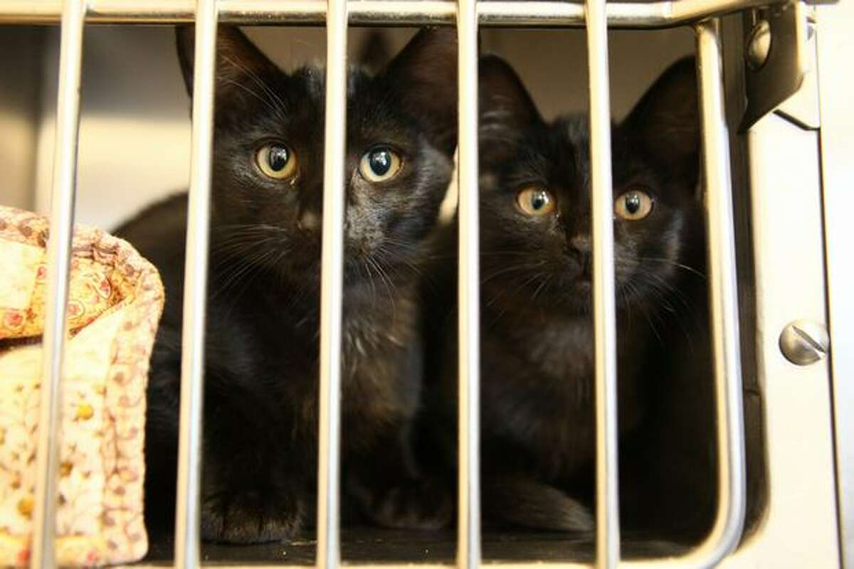 These kittens were waiting someone to adopt them Wednesday at the Seattle Animal Shelter. Staff there has seen an increase in the number of surrendered cats and kittens.
